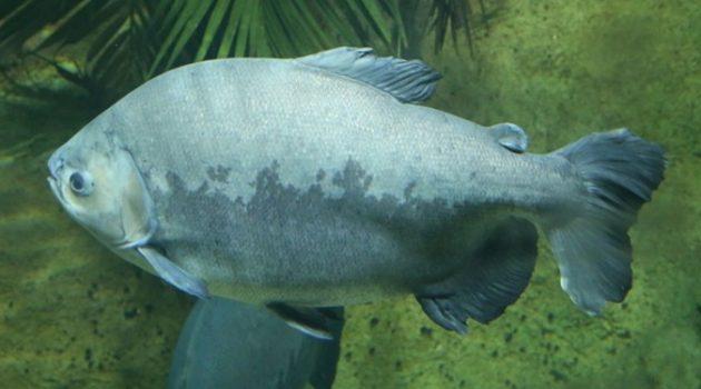 위험한 수준까지 올라간 아마존 물고기의 수은 농도