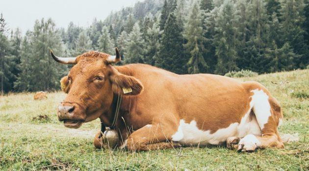 해조류를 소에게 먹이면 온실 가스 배출이 줄어든다?