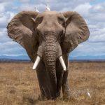 코끼리가 암에 잘 걸리지 않게 된 이유