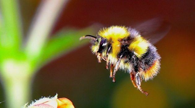 큰 꿀벌이 더 일찍 꿀을 따러 나선다?